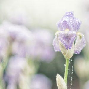 Whispering Iris